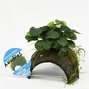Waterplant 3-gaats cocosnoot met anubias
