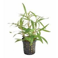 Waterplant Hygrophila Lancea