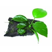 Waterplant Wood Anubias