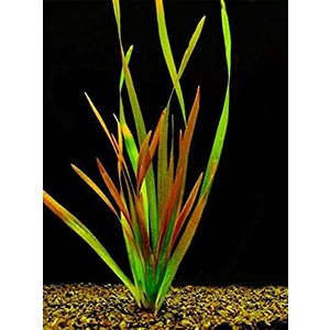 Waterplant Vallisneria giganthea rubra (Bos)