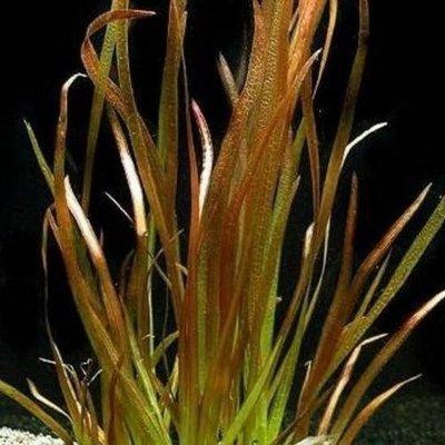 Waterplant Vallisneria Spiralis Rood (bos)