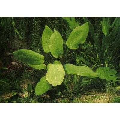Waterplant Echinodorus Impai - Extra Groot