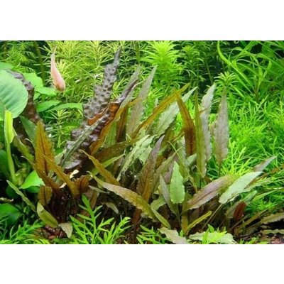 Waterplant Cryptocoryne Beckettii - Extra Groot