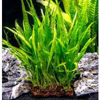 Waterplant Microsorum Narrow Leaf - Extra Groot