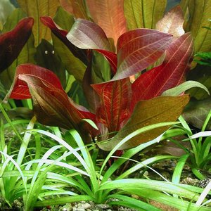 Waterplant Echinodorus Regine Hildebrandt - Extra Groot