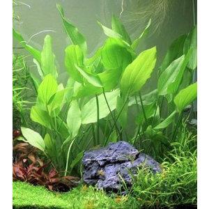 Waterplant Echinodorus Argentinensis - Extra Groot