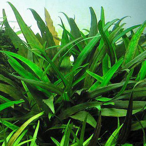 Waterplant Cryptocoryne Lucens - Extra Groot