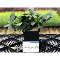 Waterplant Anubias Nana - Extra Groot
