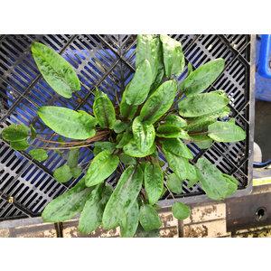 Waterplant Cryptocoryne Wendti Groen - Extra Groot