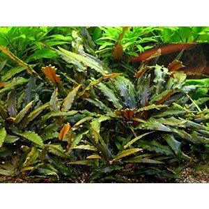 Waterplant Cryptocoryne Wendti Bruin - Extra Groot