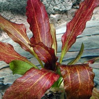 Waterplant Echinodorus Ozelot red flamed - Extra Groot