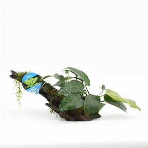 Waterplant Driftwood XS met anubias