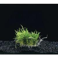 Waterplant Lileaopsis novae- zelandiae op matje