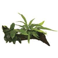 Waterplant Wood Anubias micros & mos - Small