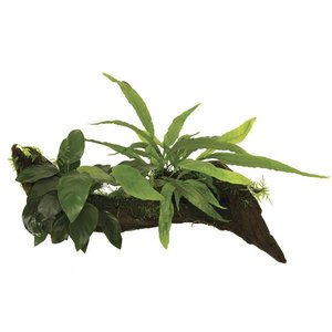 Waterplant Wood Anubias micros & mos - Small