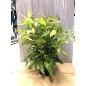 Waterplant Nomaphila Siamensis - Extra Groot