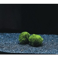 Waterplant Mosbol Chladoflora SS (x6)