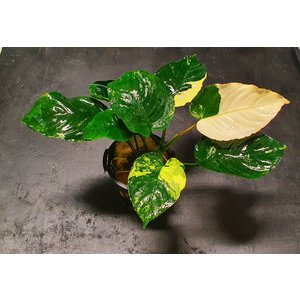 Waterplant Anubias Barteri variegatus XL LIMITED EDITION
