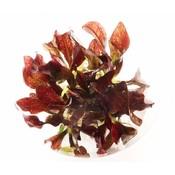 Waterplant Echinodorus 'Little Mystery' in bakje