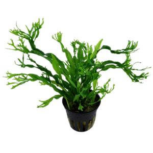 Waterplant Microsorium Windelov - Extra Groot
