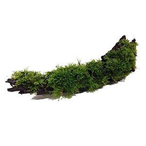 Waterplant Driftwood S met Vesicularia dubyana