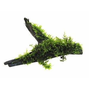 Waterplant Driftwood M vesicularia dubyana