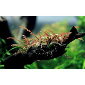 Waterplant Driftwood S met Hygrophila pinatifida