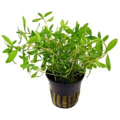 Waterplant Proserpinaca palustris 'Cuba'