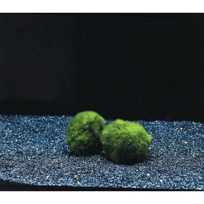 Waterplant Mosbol Chladoflora SS (x1)
