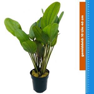 Waterplant Echinodorus Reni - Extra Groot