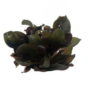 Waterplant Echinodorus Reni in vitro bakje