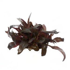 Waterplant Alternanthera Reineckii Pink