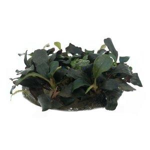 Waterplant Bucephalandra Sp. Red in vitro bakje