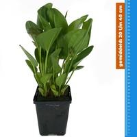 Waterplant Echinodorus Harbich - Extra Groot