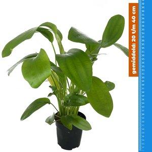 Waterplant Echinodorus Tricolor - Extra Groot