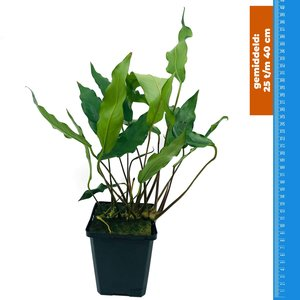 Waterplant Anubias Minima - Extra Groot