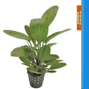 Waterplant Echinodorus Ozelot Groen - Extra Groot