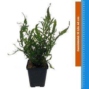 Waterplant Bolbitus Heudelotti - Extra Groot