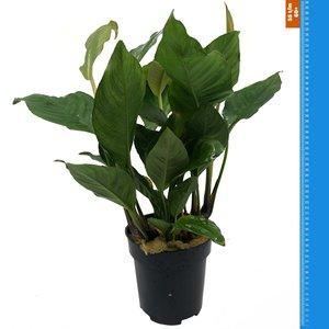 Waterplant Anubias Heterophylla - Extra Groot