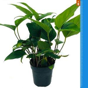 Waterplant Anubias Hastifolia - Extra Groot