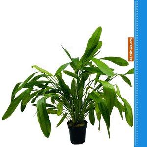 Waterplant Echinodorus Horomanii - Extra Groot