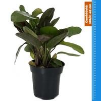 Waterplant Echinodorus Ozelot Rood - Extra Groot