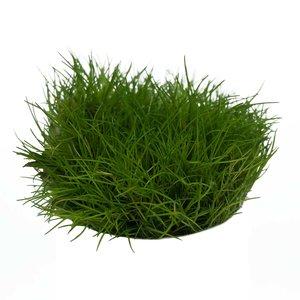 Waterplant Easy grow Eleocharis Parvula (nr 3)