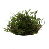 Waterplant Vescicularia dubyana in bakje