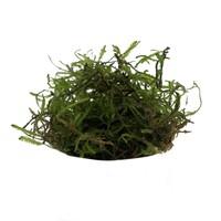 Waterplant Vesicularia Dubyana (mos in bakje)