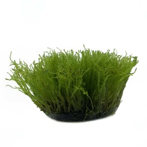 Waterplant Taxiphyllum Alternans (Taiwan moss) in vitro bakje
