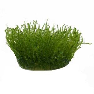 Waterplant Leptodictyum Riparum (Stringy mos) in vitro bakje