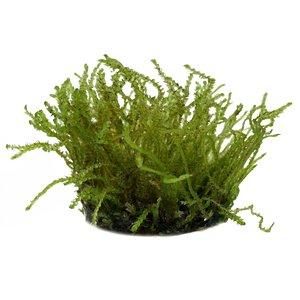 Waterplant Vesicularia sp. Creeping Moss in vitro bakje