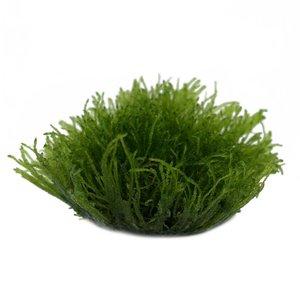 Waterplant Taxiphyllum Barbieri in vitro bakje