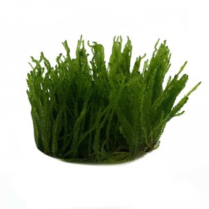 Waterplant Taxiphyllum sp. Flame in vitro bakje